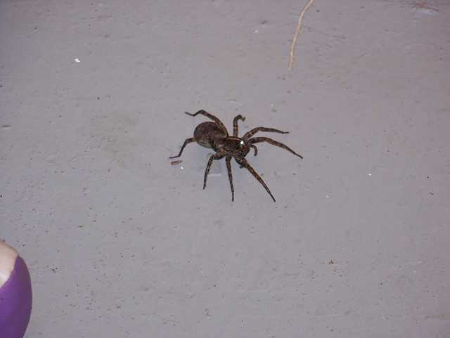 Pictures of Big Brown Spiders http://www.flickr.com/photos/32866531@N06/3279955952/