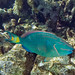 Stoplight Parrotfish - Photo (c) Paul Asman and Jill Lenoble, some rights reserved (CC BY)