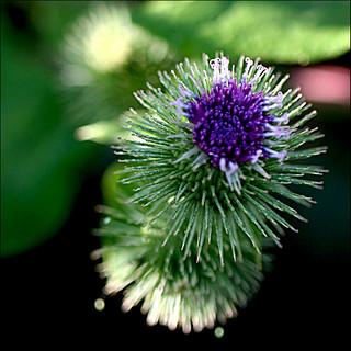 Fleur de bardane ! - Flower of burdock !