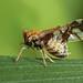 Ornate Planthopper (Liburniella ornata)