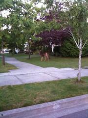 Deers roaming the neighborhood