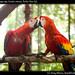Guacamaya roja, Scarlet macaw, Belize Zoo (3)