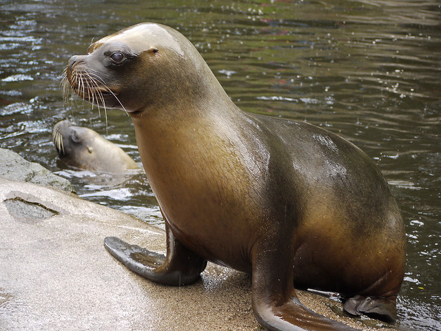 how to draw a cute sea lion