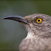 Curve-billed Thrasher portrait