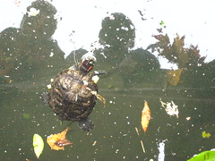 Bronx Zoo Turtle