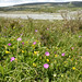 Flowers and turlough, Mullach Mor (Maureen Ponting)