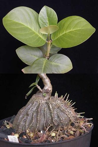 Hydnophytum sp