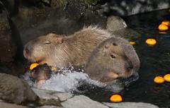 animal, rodent, fauna, capybara, wildlife,