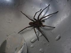 arthropod, animal, spider, invertebrate, fauna, close-up, wolf spider,