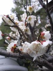 Ume blossoms
