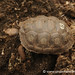 A Baby Giant Tortoise - Galapagos Islands