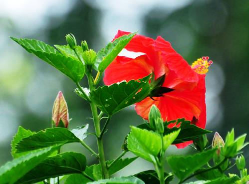 DSC 0152 1 72 - Red Hibiscus Flower