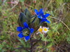 Parry's gentian - Photo (c) Bryant Olsen, some rights reserved (CC BY-NC)