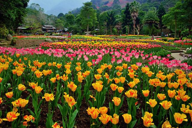 ▀ زهور التوليب Tulip Flowers صور ومعلومات ▀ 3933539539_3949950f22_z.jpg?zz=1