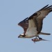 Osprey at Blackwater NWR