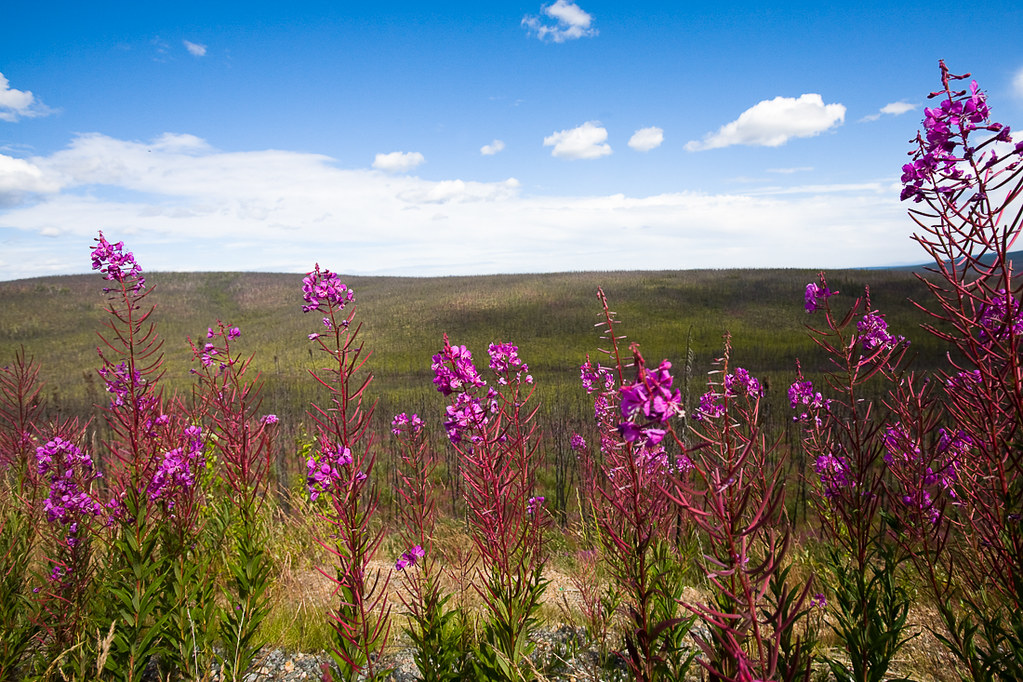 Fireweed, British Colombia, Yukon, Canada, 2008