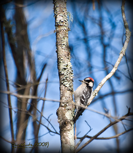 red white black bird woodpecker valdosta downy grandbay lowndes pubescens picoides d80