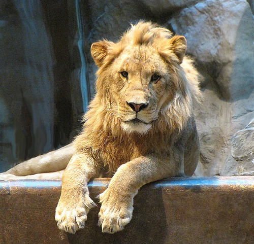 Lions Amazing Facts