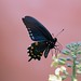 Pipevine Swallowtail Butterfly - Photo (c) Ronnie Pitman, some rights reserved (CC BY-NC)