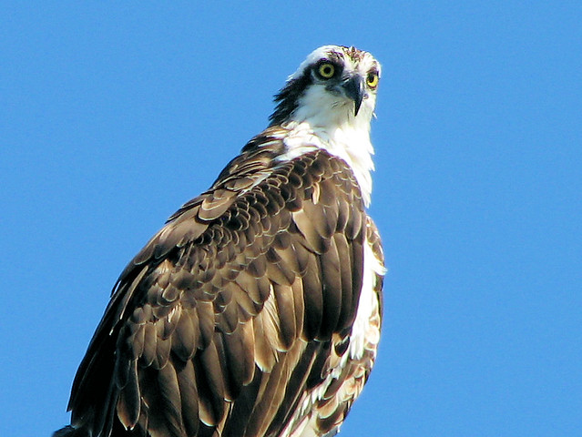 Osprey fish hawk flickr photo sharing for Fish hawk bird