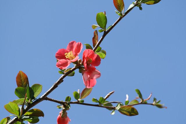 海棠花, Chaenomeles