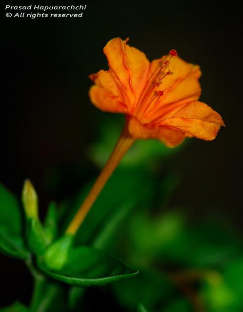 photo Hendirikka Flower