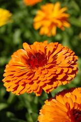 annual plant, calendula, flower, yellow, plant, macro photography, herb, wildflower, flora, petal,