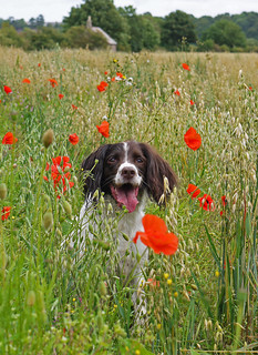 The Colourful Life of a Springer