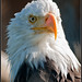 Bald Eagle - Homer Alaska