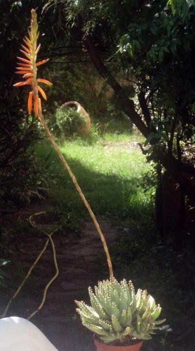 Aloe brevifolia 4007896488_f8b1fb2f25_o