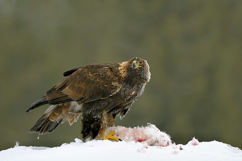 Finland, Golden eagle