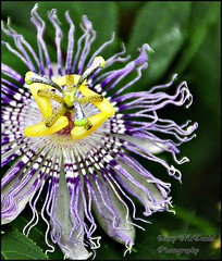 flower(1.0), purple(1.0), yellow(1.0), purple passionflower(1.0), plant(1.0), macro photography(1.0), wildflower(1.0), flora(1.0), close-up(1.0), petal(1.0),