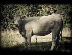 cattle-like mammal, animal, bull, mammal, fauna, cattle, monochrome, wildlife,