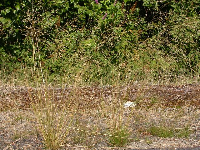 Header of Agrostis scabra