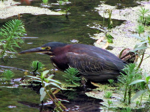 Green Heron by paynehollow