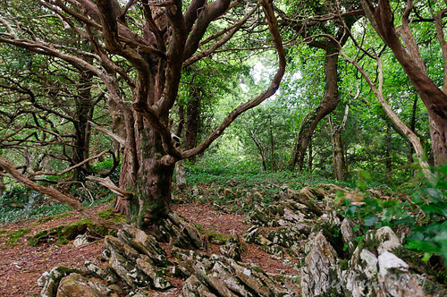 trees ireland tree forest roots kerry killarney enchanted muckrosshouse killarneynationalpark sewerdoc ©jaredfein