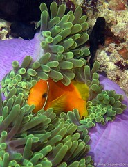 Maldives Clownfish