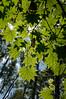 Photo:20090911 Yachiho 11 (Green leaves) By BONGURI