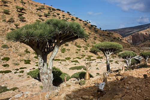 dragon's blood tree on Socotra Island