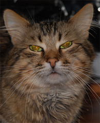 domestic long-haired cat, animal, maine coon, tabby cat, small to medium-sized cats, pet, european shorthair, pixie-bob, fauna, siberian, close-up, cat, carnivoran, whiskers, norwegian forest cat, domestic short-haired cat,