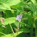 Karner Blue, Lycaeides melissa samuelis