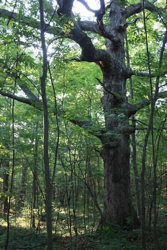 Wolf Tree - Patrill Hollow Preserve