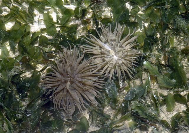Swimming anemone (Boloceroides mcmurrichi)