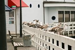 Sea gulls Santa Cruz Peer