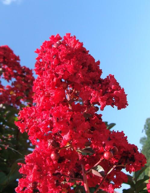 crepe myrtle flowers  magenta  unretouched color