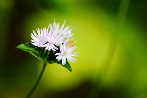 nc bokeh northcarolina softfocus wildflower lincolncounty clinefarm davidhopkinsphotography ncpedia