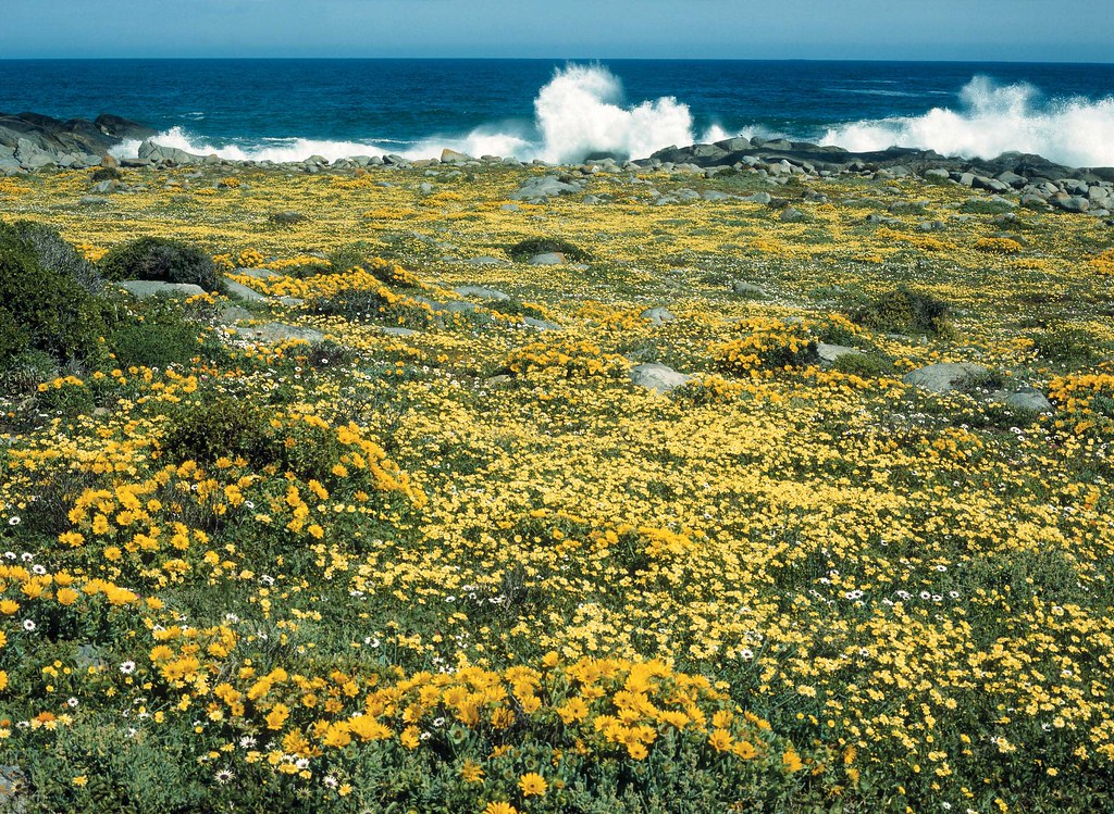 Postberg Spring Flowers - West Coast, South Africa