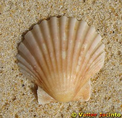 Vieira; Concha de Santiago // Great Atlantic Scallop (Pecten maximus)