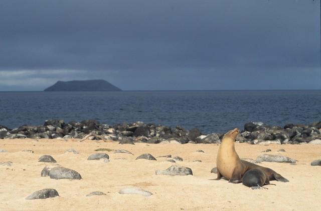 Galapagos sea lion nursing, Galápagos Islands, Ecuador - nursery with a view
