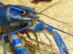 animal, crustacean, crayfish, seafood, marine biology, invertebrate, macro photography, fauna,